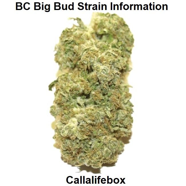 BC Big Bud Strain Information