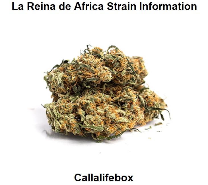 La Reina de Africa Strain Information