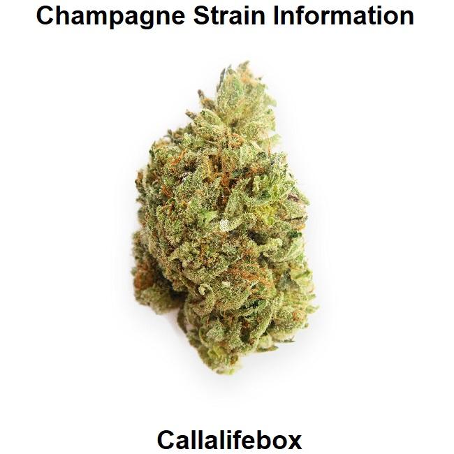 Champagne Strain Information