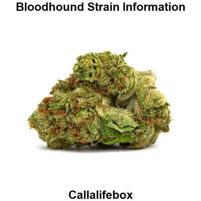 Bloodhound Strain Information