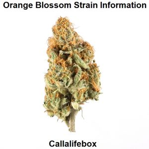 Orange Blossom Strain Information